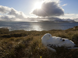 A Wandering Albatross Sleeping