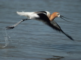 An American Avocet  Recurvirostra Americana  in Flight