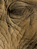 Close Up of the Eye of an African Elephant  Loxodonta Africana