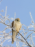 Eurasian Kestrel (Falco Tinnunculus) Female in Winter  Germany