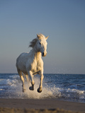 Camargue Horse (Equus Caballus) Running on Beach  Camargue  France