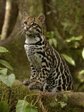 Ocelot (Felis Pardalis) Standing on Buttress Root  Amazon Rainforest  Ecuador