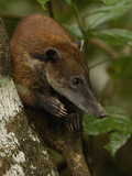 Coatimundi (Nasua Nasua) in a Rainforest Tree