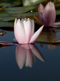 Pink Water Lily Flowers Starting to Open