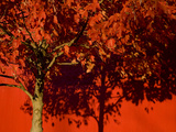 A Bright Red Autumn Tree Casts Shadows on a Bright Red Wall