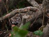 A Well Hidden Bobcat Peeks Out from Behind a Fallen Tree