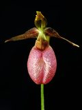 A Pink Lady&#39;s Slipper Orchid  Cypripedium Acaule  in Bloom