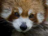 Portrait of a Vulnerable Red Panda  Ailurus Fulgens