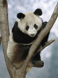 Giant Panda (Ailuropoda Melanoleuca) Endangered  in Tree  Wolong Valley  China