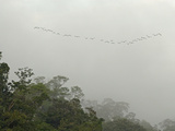 Neotropic Ccrmorants  Phalacrocorax Brasilianus  in Flight
