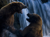 Brown Bears Fight for Best Spot to Wait for Sockeye Salmon to Jump