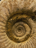 A Fossilized Shell