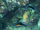 A Goatfish and Cleaner Wrasse at a Cleaning Station