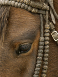 Close Up of a Domestic Horse with Knotted Bull-Hide Bridle at Hacienda Yanahurco  Ecuador