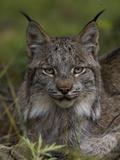 Canada Lynx (Lynx Canadensis)  Delani National Park  Alaska
