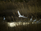 Egrets Along Water's Edge