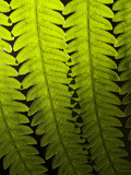 Close Up of Backlit Fern Fronds