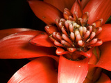Bromelaid Flower of the Genus Guzmania