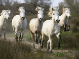 Camargue Horse (Equus Caballus) Group Running  Camargue  France