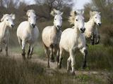 Camargue Horse (Equus Caballus) Group Running  Camargue  France