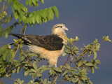 Yellow-Headed Caracara (Milvago Chimachima) Perching in Tree  Cerrado Habitat  Brazil