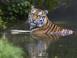 Siberian Tiger (Panthera Tigris Altaica) Bathing  Native to Siberia