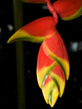 Lobster Claw or False-Bird-Of-Paradise  Heliconia Rostrata  Flower