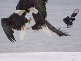 Bald Eagle (Haliaeetus Leucocephalus) Pair Fighting over Fish  Idaho