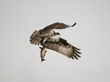 An Osprey with a Freshly Caught Fish