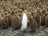 King Penguin  Aptenodytes Patagonicus  Chick Begging it's Parent for Food