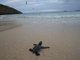 Green Sea Turtle  Chelonia Mydas  Hatchling Making its Way to the Ocean