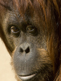 Close Up of the Face of an Orangutan  Pongo Pygmaeus