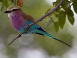 A Lilac-Breasted Roller Perching on a Tree Branch