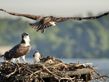 A Fledgling Osprey Lands in its Nest after One of its Early Flights