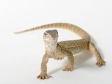 A Gould's Monitor Lizard  Varanus Gouldii