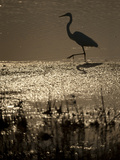 A Backlit View of an Egret in Rippled Water and Reflections