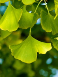 Close Up of Ginkgo Leaves