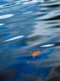 Oak Leaf Floating in Gently Rippled Water
