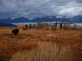 A Buffalo Grazing in Grand Teton National Park