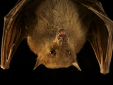 A New Species of Blossom Bat in New Guinea's Foja Mountains