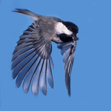 A Carolina Chickadee in Flight with a Sunflower Seed in it's Beak
