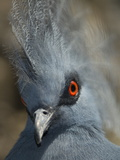 Close Up Portrait of a Western Crowned Pigeon  Goura Cristata