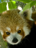 Close Up of an Endangered Red Panda  Ailurus Fulgens  Nest in a Tree