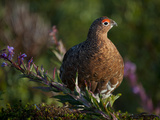 A Male Ptarmigan in Summer Colors in Katmai National Preserve