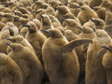 King Penguin Chicks  Aptenodytes Patagonicus  in a Rookery