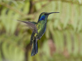 Portrait of a Green Violet-Ear Hummingbird  Colibri Thalassinus