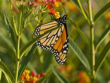 Monarch Butterfly Sipping Nectar from a Flower
