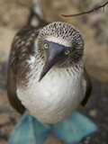 A Portrait of a Blue-Footed Booby  Sula Nebouxii
