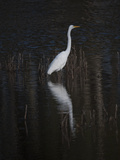 An Egret Standing in Rippled Water and Reflections