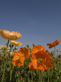 Poppies Growing in Flower Gardens in Front of the Union House
